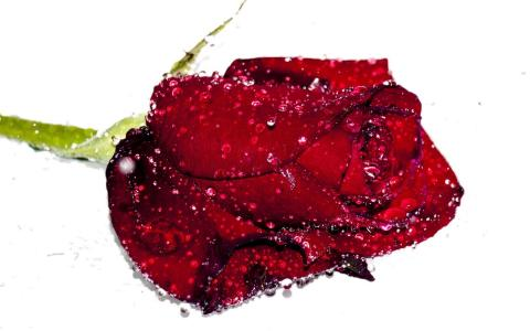 一滴红玫瑰花蕾在白色背景上的水滴