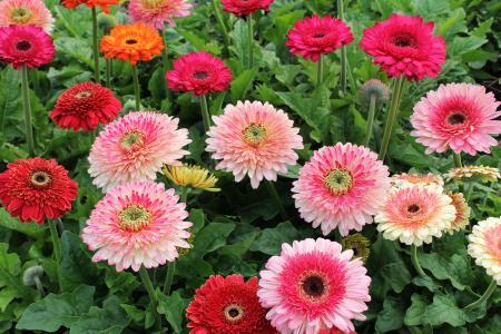 在花坛的多彩多姿的微妙的扶郎