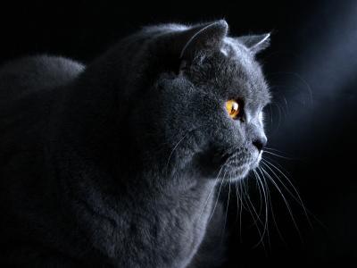 在黑暗的背景的英国猫