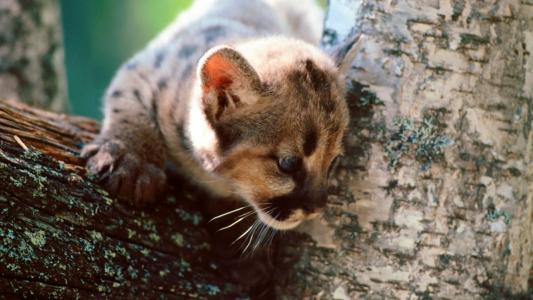 在树上的灰色猫
