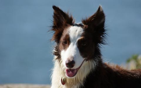 布朗博德牧羊犬反对天空