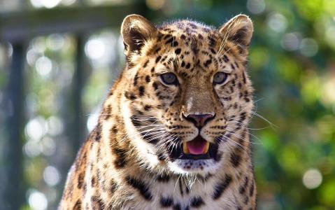 看,Fang牙,捕食者,黑豹