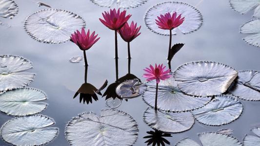 在越南的睡莲