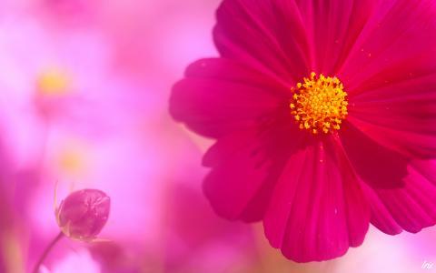 芽和波斯菊的花