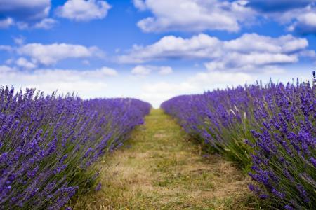 紫色淡紫色领域在蓝天下开花