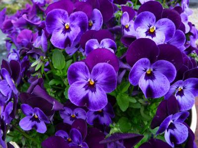 三色堇精致的小紫罗兰花