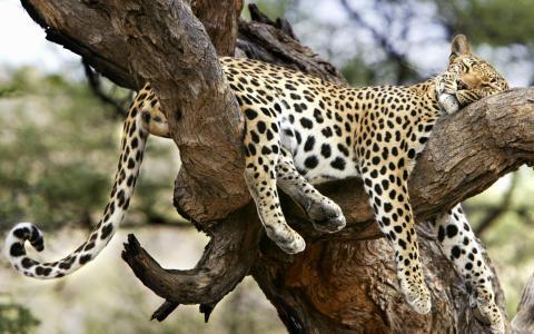 豹子在树上睡着了