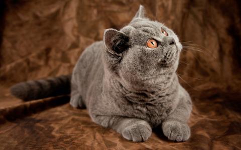 英国猫正在观看