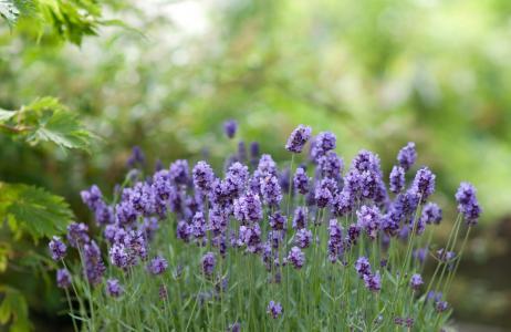 芬芳的淡紫色紫色花朵
