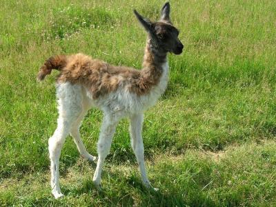 年轻的骆驼