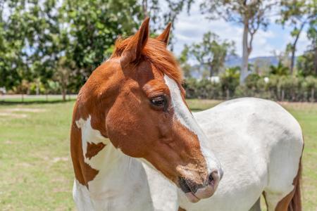 在农场的白色匹棕色的马