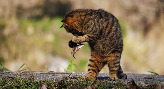 一只灰猫抓到一条小鱼