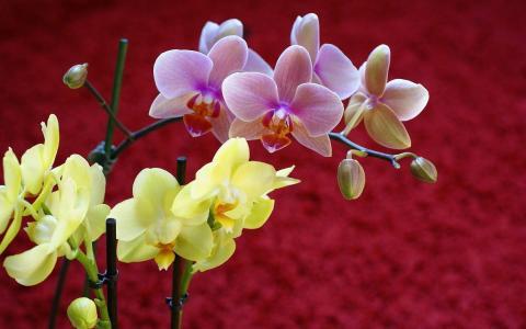黄色和蓝色的兰花