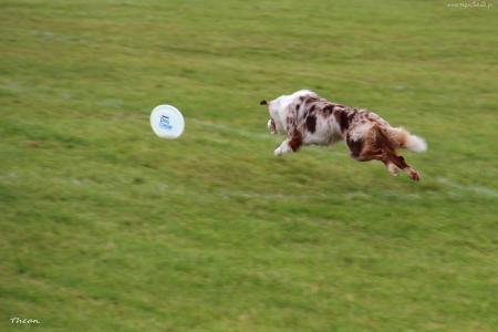 边境牧羊犬在飞碟以后跑