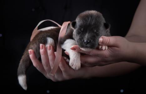 手掌上的一种品种美国秋田的小可爱的新生小狗