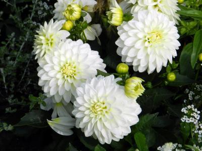 鲜艳美丽的大丽花