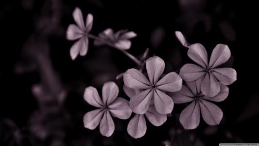 在黑色背景上的灰色花朵