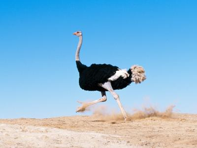 黑翼鸵鸟/非洲