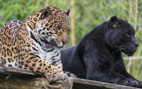 黑色和斑点的黑豹