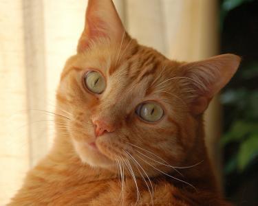 红色的猫,黄色的眼睛