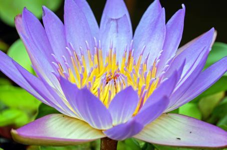 紫色大莲花