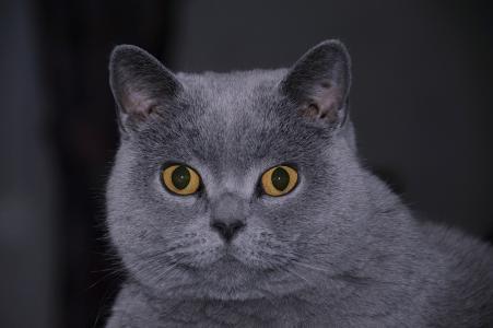 看着框架的英国猫