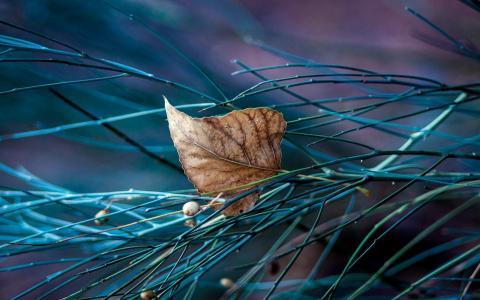 秋叶落在一个针叶树枝