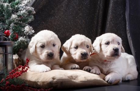 一只金毛猎犬的三只小狗躺在靠近一棵小圣诞树的枕头上