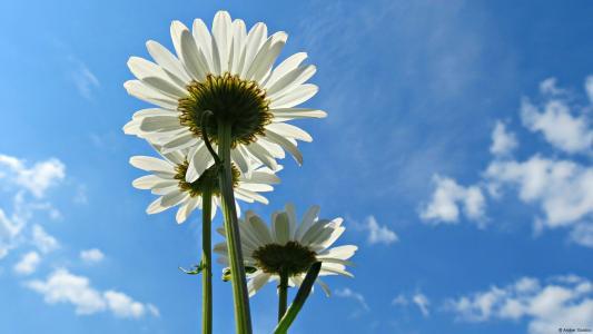 蓝蓝的天空背景上的三个白色的雏菊