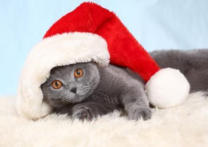 英国猫在一个新的一年的帽子