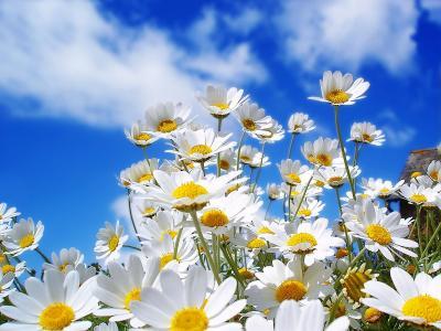 春天的雏菊