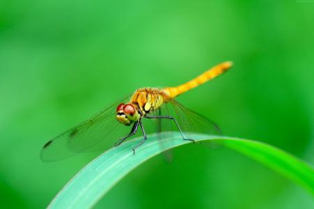 蜻蜓坐在一片绿叶特写照片