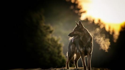 在日落背景的牧羊犬