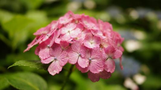 自然清新的绣球花微距摄影