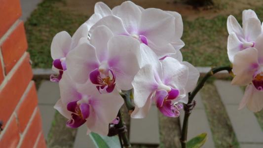 白色粉红色的兰花