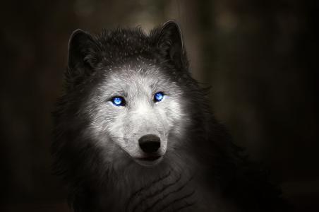 神奇的白狼,蓝眼睛