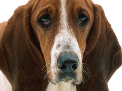 短腿猎犬的肖像