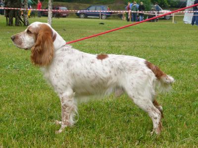 在展览会上的狗西班牙猎狗