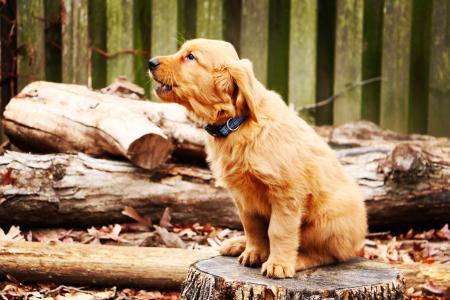 金毛猎犬的一只小狗坐在树桩上