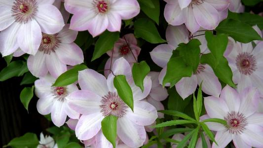粉红色的大铁线莲花