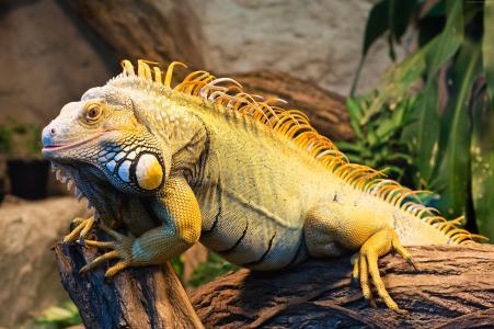 一只大鬣蜥坐在一棵树上