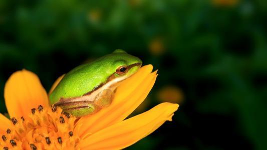 在一朵黄色花的青蛙