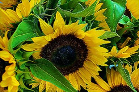 一个年轻的向日葵的花朵