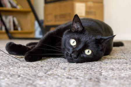 孟买猫躺在地板上