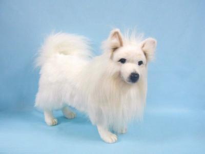 在蓝色背景的白色波美丝毛狗