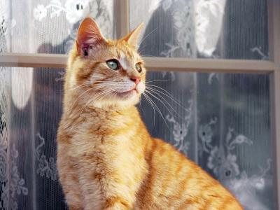 在窗口附近的红色猫