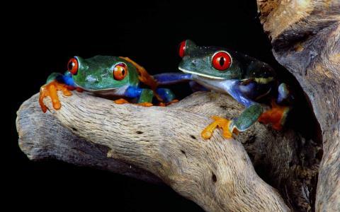 多彩多姿的青蛙,红红的眼睛