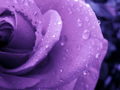 湿丁香玫瑰