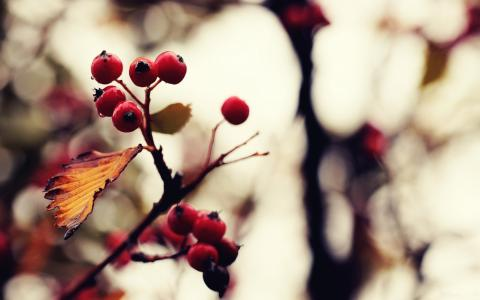 在树上成熟的浆果