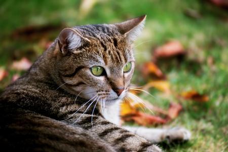 大灰绿眼睛的猫躺在绿色的草地上